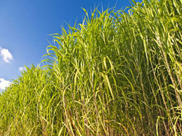 Bacterium breaks down grass for biofuel | Chemistry World | Biofuels | Scoop.it