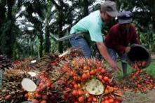 Palm oil for India 'destroying Indonesian forests' | KochAPGeography | Scoop.it
