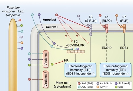 Apoplastic fungal effectors in historic perspective; a personal view - Wit - 2016 - New Phytologist - Wiley Online Library | Emerging Research in Plant Cell Biology | Scoop.it
