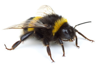 Flowers Contaminated With Metal Behind Bumblebee Decline   Gardens and Gardening   Scoop.it