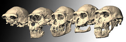Moins d'espèces dans l'évolution humaine ? | Aux origines | Scoop.it