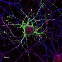 I neuroni come Gps - Galileo   Neuroscienze   Scoop.it