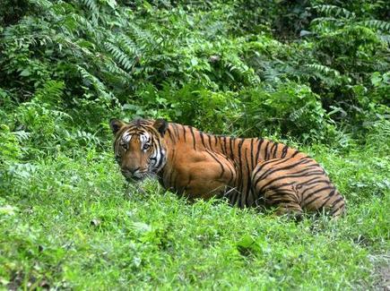 Inde: les tigres protégés dans trois nouvelles réserves | Chronique d'un pays où il ne se passe rien... ou presque ! | Scoop.it