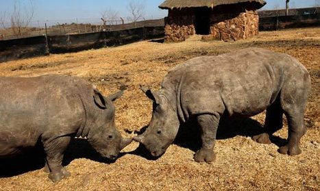 9 rhino killed on N.West farm | What's Happening to Africa's Rhino? | Scoop.it