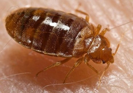 Bedbugs actually like certain colors over others | CALS in the News | Scoop.it