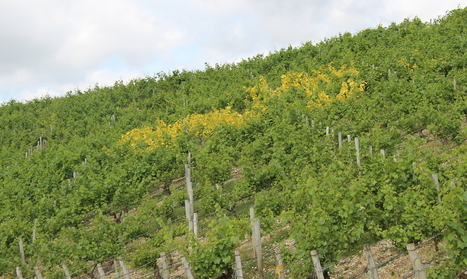 Battling the elements in #Chablis | Vitabella Wine Daily Gossip | Scoop.it