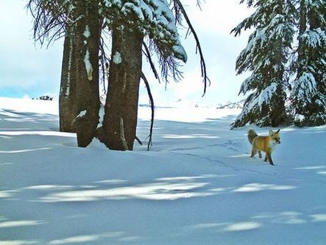 Extremely Rare Fox Seen in Yosemite—First Time in 100 Years | Naturalist Education | Scoop.it