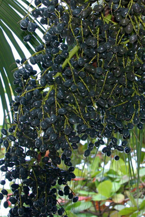 Acai Berry - Superfoods and Miracle Foods - Oprah.com | Personal Wellness | Scoop.it