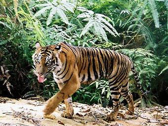 Tell Congress to protect tiger habitat | World Wildlife Fund | GarryRogers Biosphere News | Scoop.it
