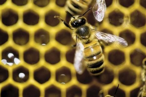 Les néonicotinoïdes, pas seulement une plaie pour les abeilles - LaPresse.ca | Abeilles, intoxications et informations | Scoop.it