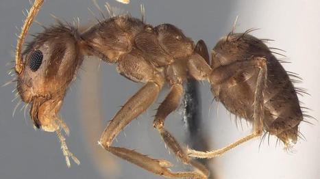 When Crazy Ants Brawl With Fire Ants, They Produce a Substance Never Found Before in Nature | All About Ants | Scoop.it