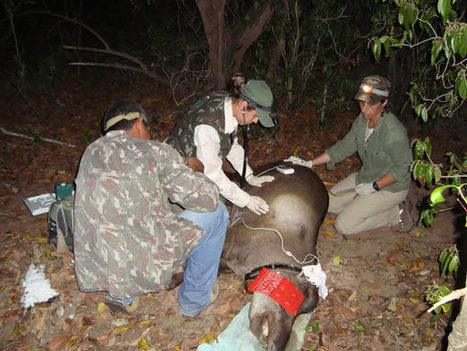 Time for a checkup: researchers examine the health of lowland tapirs | Rainforest EXPLORER:  News & Notes | Scoop.it