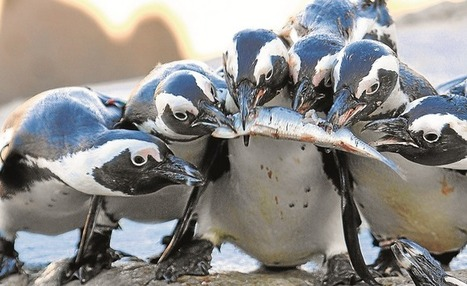 PENGUIN CONSERVATION: No-fish quandary | Global change | Scoop.it