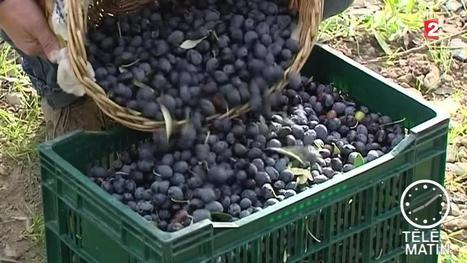 Olives : les producteurs retrouvent le moral grâce à la météo | oléiculture | Scoop.it