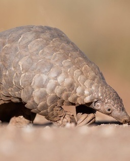 World unites to save pangolin | Advocating for Wildlife | Scoop.it