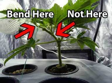 No-Technique Plant Training | Grow Weed Easy | Grow Weed Easy | Scoop.it