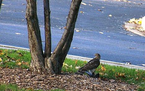Raptors at Nature Boardwalk | Birds | Scoop.it