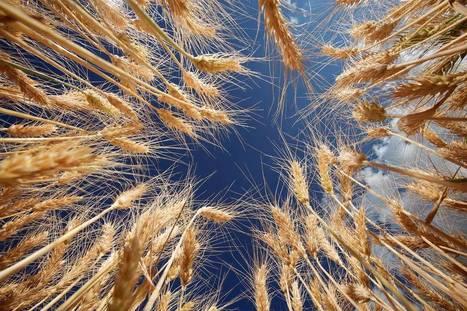 Complex Bread Wheat Genome Cracked | Nat Geo Food | Health & Science | Scoop.it