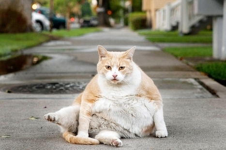 Got a fat cat? It may be comfort eating - Ottawa Citizen | Breeds of Cats | Scoop.it