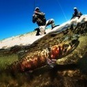 Pyramid Lake Lahontan cutthroat trout saved from extinction - RYOT | Fish Habitat | Scoop.it