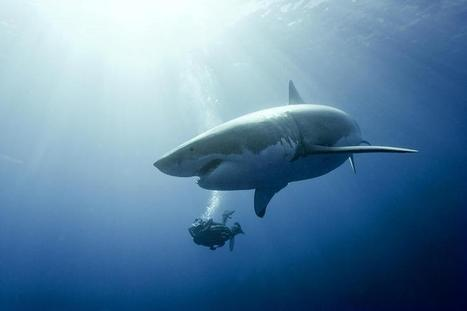 Les requins, « pas si menaçants, menacés, utiles » - Natura Sciences | Requins | Scoop.it