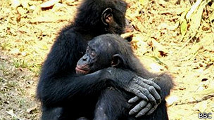 Chimpancés y humanos comparten cerebros con una capacidad de adaptación extraordinaria / Noticias / SINC | ANIMAL LATITUDE NEWS | Scoop.it