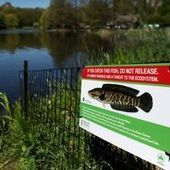 One Man's Search for the Elusive Snakehead Fish in Central Park - WNYC | Central Park | Scoop.it