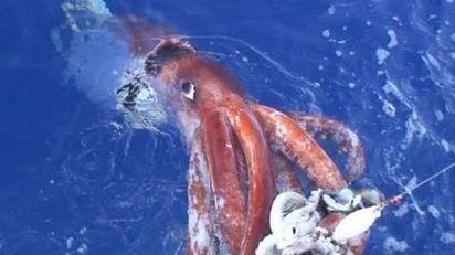 La pêche des céphalopodes, calamars, seiches aux leurres ! | La pêche | Scoop.it