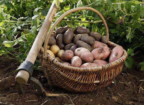 Comment réussir ses pommes de terre | planter des bulbes | Scoop.it