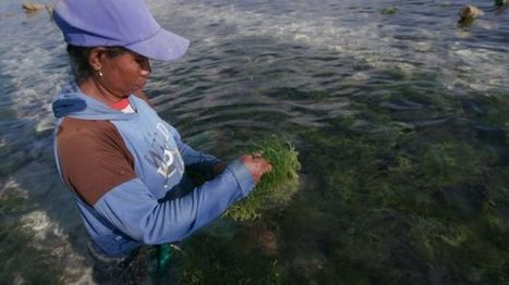 Indonesian seaweed farmers sue in major oil spill case - BBC News | Farming, Forests, Water, Fishing and Environment | Scoop.it