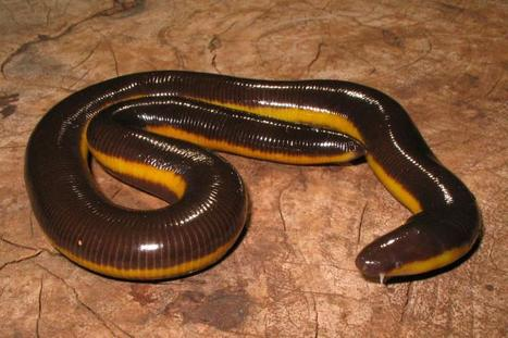 New caecilian discovered | AJC's Frogroom | Scoop.it