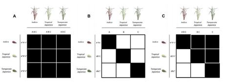 Evolution of compatibility range in the rice-Magnaporthe oryzae system: an uneven distribution of R genes between rice subspecies | Rice Blast | Scoop.it