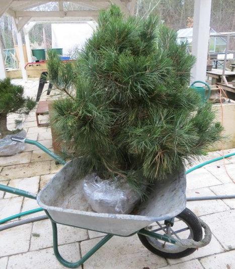 Mise en pot de pins issus de pleine terre | Bonsai365 | BONSAI365 | Scoop.it