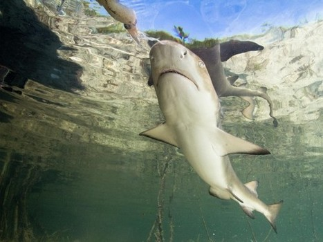 Sharks Have Social Networks, Learn From Friends | All about water, the oceans, environmental issues | Scoop.it