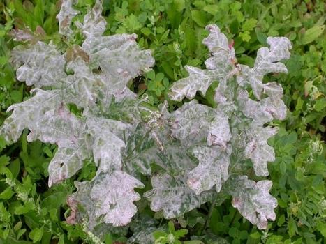 Lutte et traitements biologiques efficaces contre l'oïdium ! | Jardinage | Scoop.it