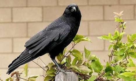 Crows caught on camera fashioning special hook tools | animals and prosocial capacities | Scoop.it