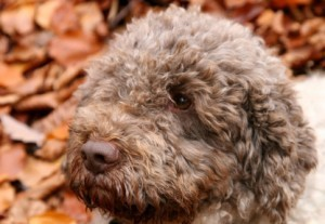 Truffle Hunting: Find seasonal white truffles and black truffles in Le Marche | Le Marche another Italy | Scoop.it