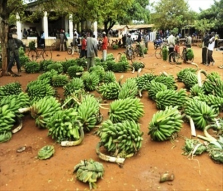 Influence of Multinationals in Banana Trade Declines - FAO - Ghana Broadcasting Corporation   NGOs in Human Rights, Peace and Development   Scoop.it