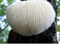 Nootropic Review: Lion's Mane Mushroom | Best Online Nootropics Supplier | Scoop.it