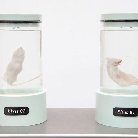 WHOAA! Good Idea??? Artist genetically engineers mice with the DNA of Elvis Presley (Wired UK) | Tracking Transmedia | Scoop.it