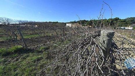 21/01/16 - Le conservatoire mondial de la vigne transféré de Marseillan à Gruissan | Winemak-in | Scoop.it