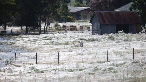 Une région entière recouverte de toiles d'araignées ! | EntomoNews | Scoop.it