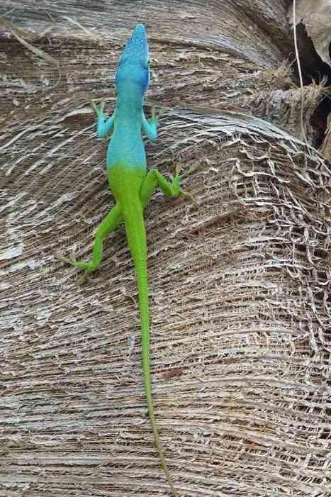Photo de lézard vert et bleu : Anole d'Allison - Anolis d'Allison - Anolis allisoni - Allison's anole - Lézards - Lizard - Lizards - Anoles | Fauna Free Pics - Public Domain - Photos gratuites d'animaux | Scoop.it