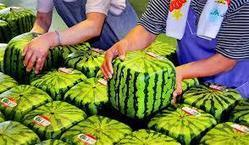 The Truss Times - Online News Portal : Square fruit stuns Japanese shoppers. | Get Updated Today for Tommorow | Scoop.it