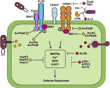 Cell Host and Microbe - Phytopathogen Effectors Subverting Host Immunity: Different Foes, Similar Battleground | Plant pathogen interaction | Scoop.it