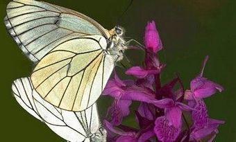 Toulouse : un observatoire des papillons, « très bon indicateur de la biodiversité » | Ecology view | Scoop.it