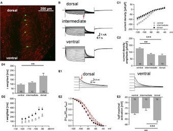 Neuromics: MAP-2-A Versatile Neuron Marker | Neuromics | Scoop.it