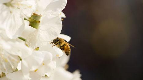 Des dérogations pour poursuivre l'utilisation des pesticides néonicotinoïdes | EntomoNews | Scoop.it