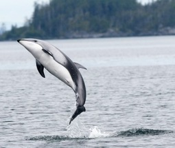 Featured project:Dolphinpalooza   #SciFund   Scoop.it