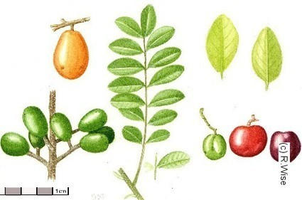 Spondias purpurea L. | Ciruela (Spondias Purpurea L.) | Scoop.it